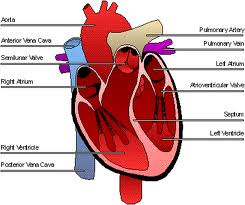 the parts of the circulatory system and tissues - the circulatory, Human Body